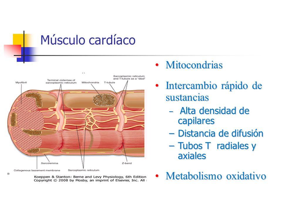 Músculo cardíaco Mitocondrias Intercambio rápido de sustancias