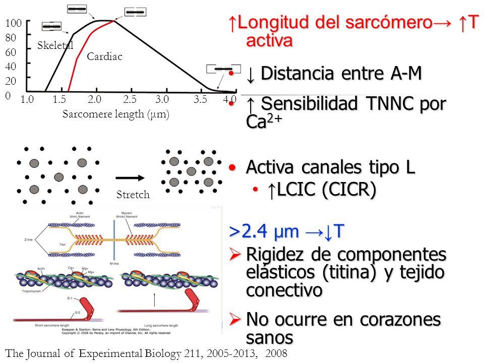 ↑Longitud del sarcómero→ ↑T activa ↓ Distancia entre A-M