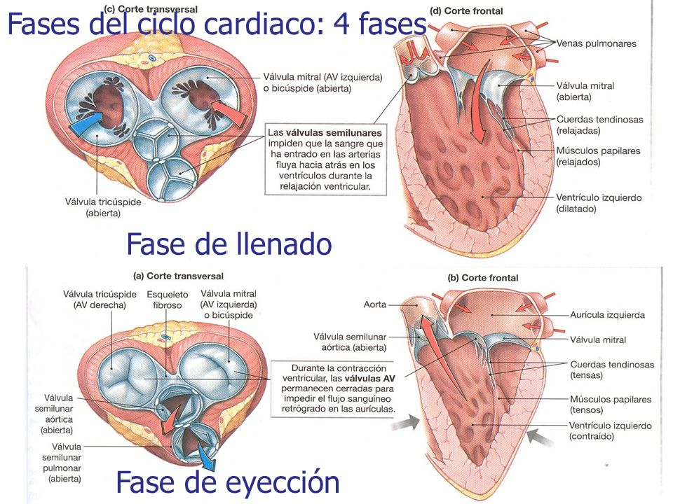 Fases del ciclo cardiaco: 4 fases