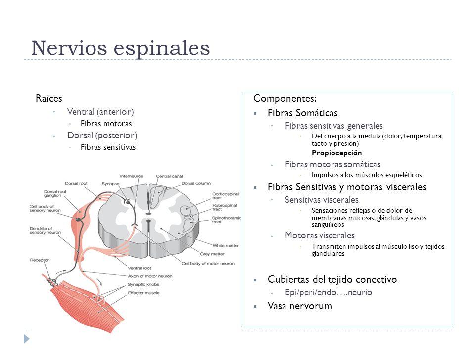 Nervios espinales Raíces Componentes: Fibras Somáticas