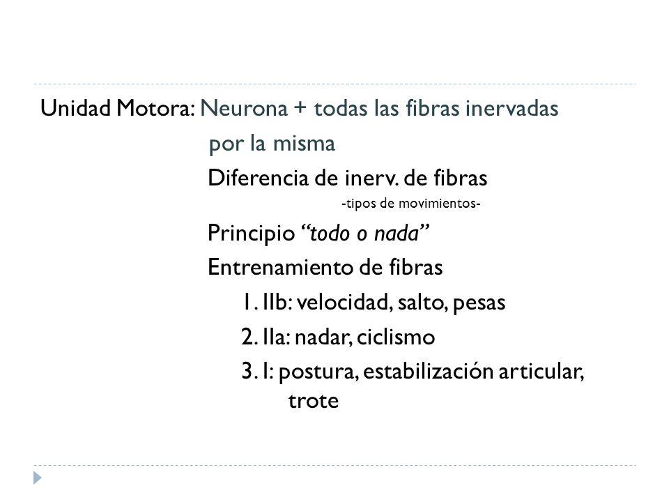 Unidad Motora: Neurona + todas las fibras inervadas por la misma