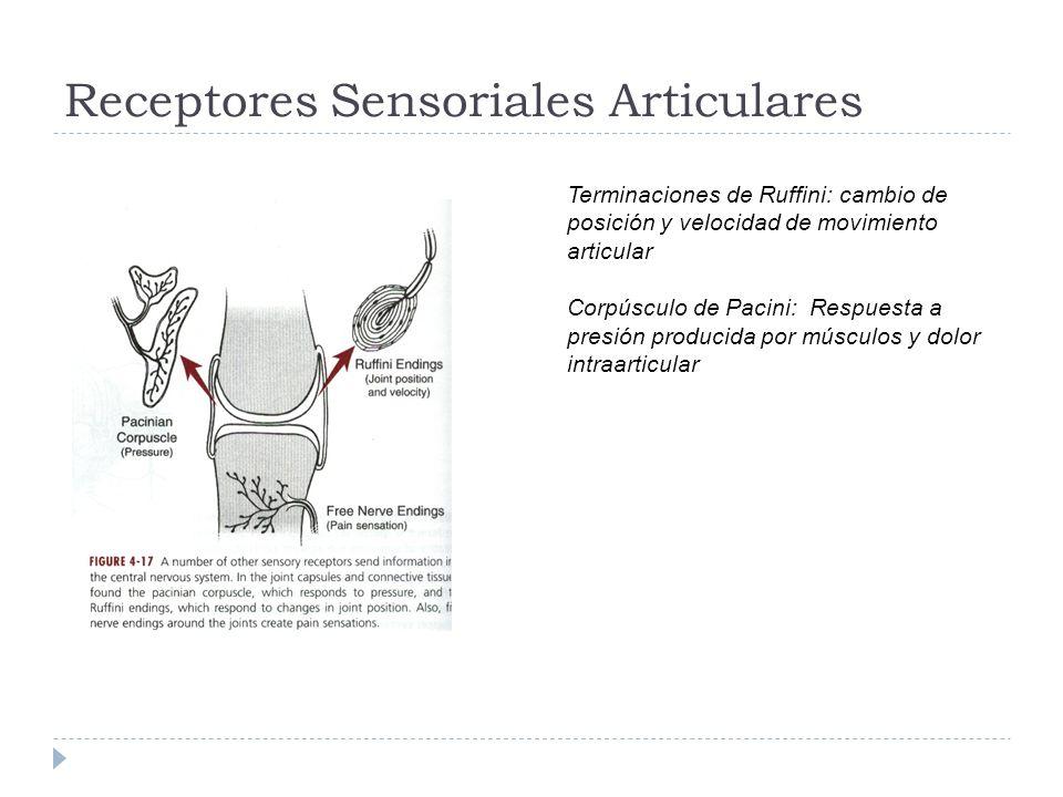 Receptores Sensoriales Articulares