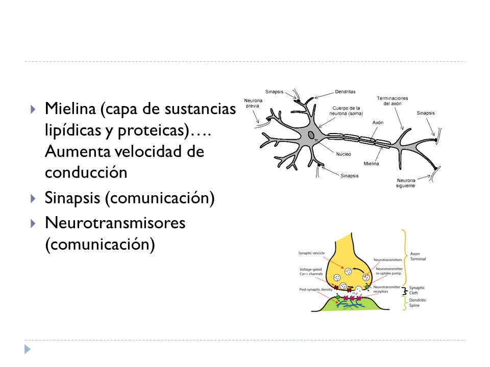 Mielina (capa de sustancias lipídicas y proteicas)…