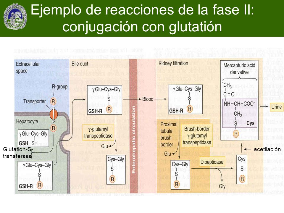 Ejemplo de reacciones de la fase II: conjugación con glutatión