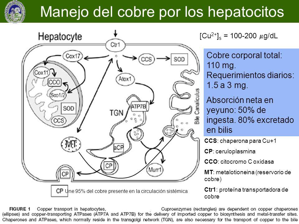 Manejo del cobre por los hepatocitos