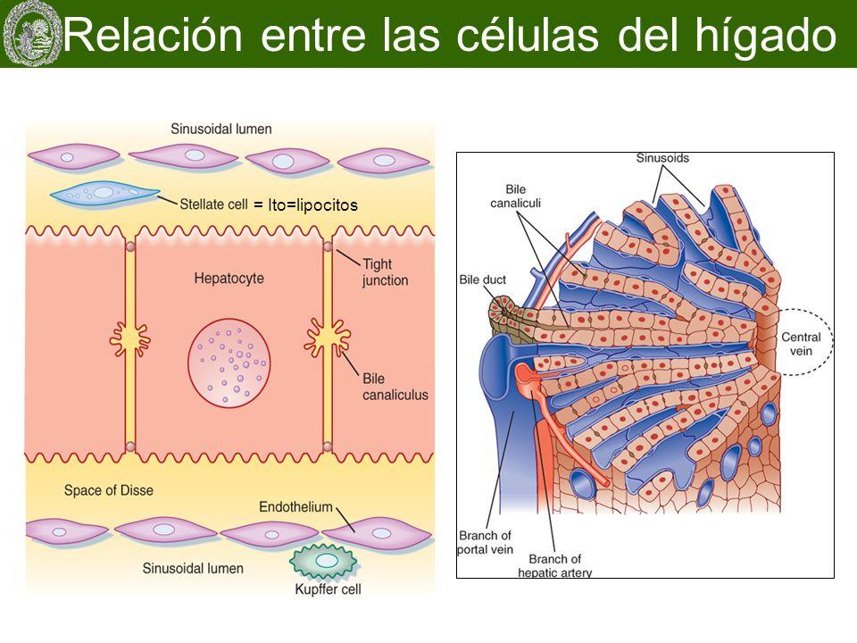 Relación entre las células del hígado