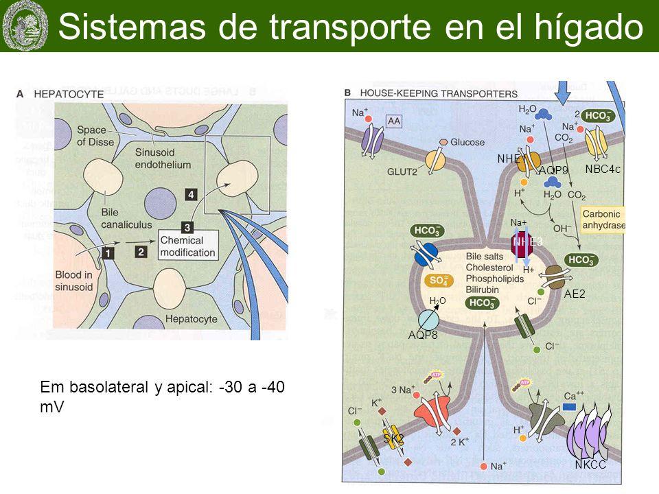 Sistemas de transporte en el hígado