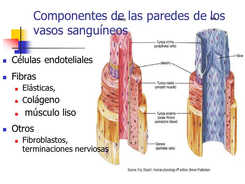 Componentes de las paredes de los vasos sanguíneos