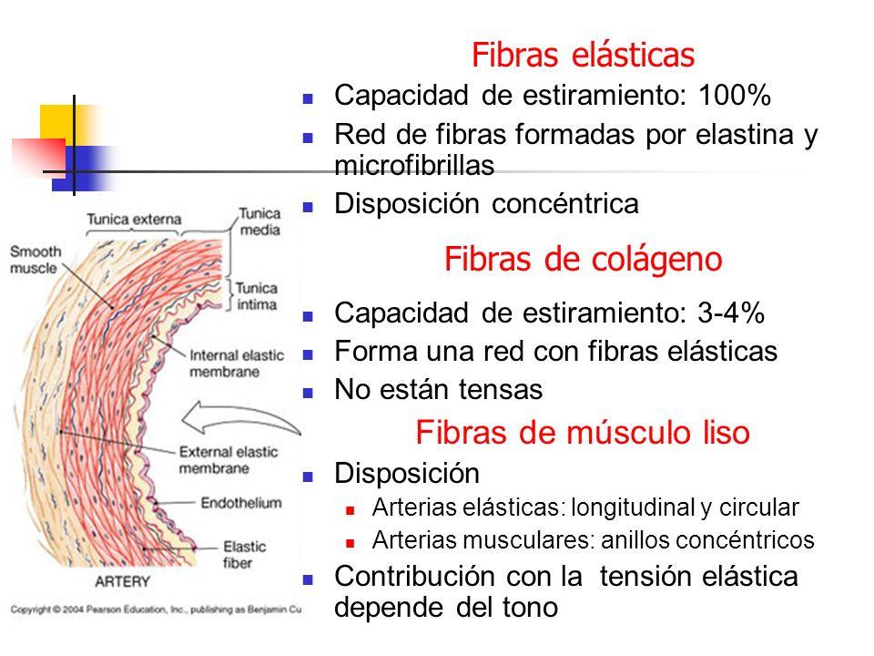 Fibras elásticas Fibras de colágeno Fibras de músculo liso