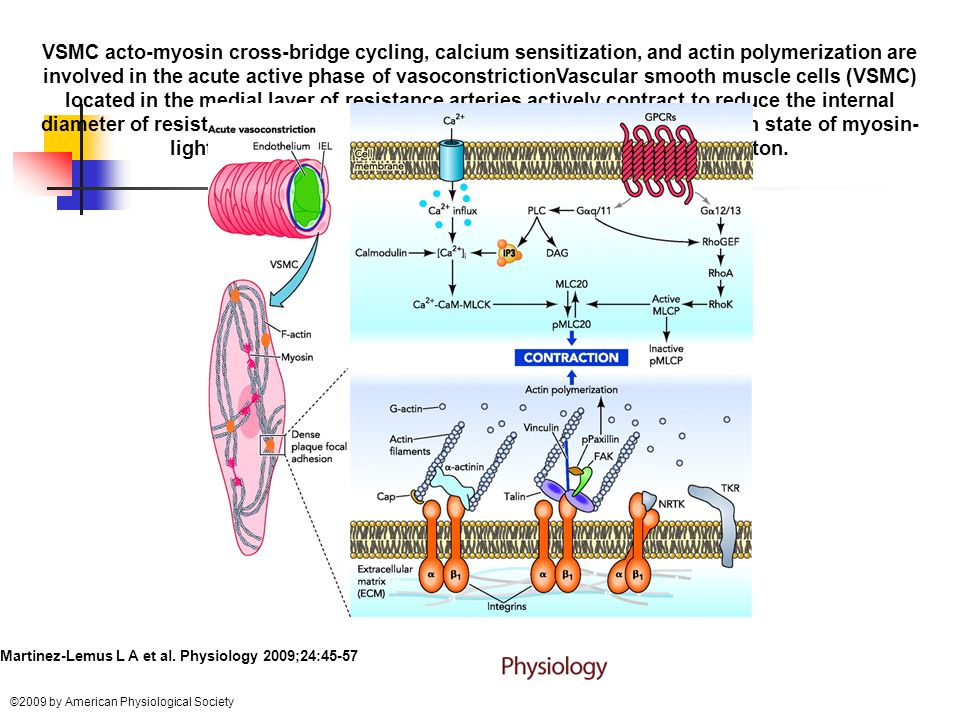 VSMC acto-myosin cross-bridge cycling, calcium sensitization, and actin polymerization are involved in the acute active phase of vasoconstrictionVascular smooth muscle cells (VSMC) located in the medial layer of resistance arteries actively contract to reduce the internal diameter of resistance arteries via processes involving the phosphorylation state of myosin-light chain (MLC20) and the remodeling of the actin cytoskeleton.