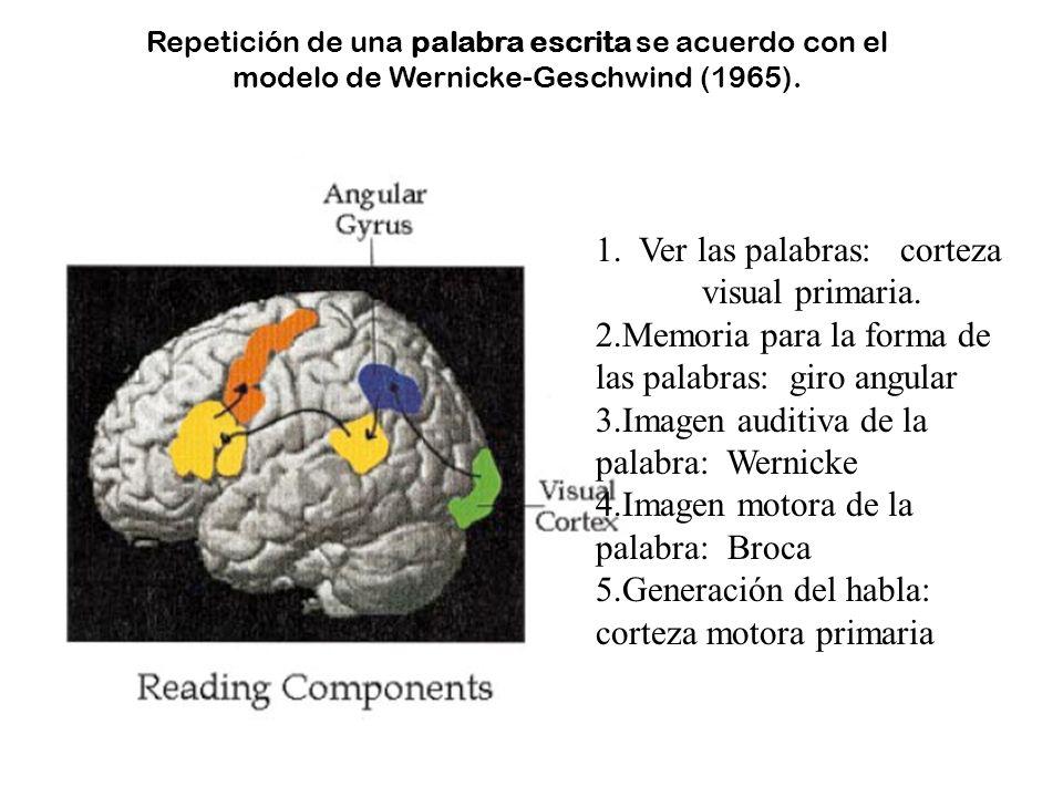 1. Ver las palabras: corteza visual primaria.