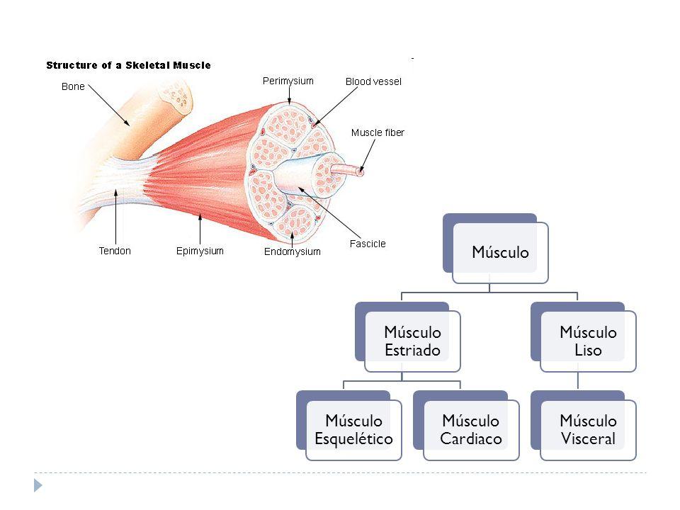 Músculo Músculo Estriado Músculo Esquelético Músculo Cardiaco Músculo Liso Músculo Visceral