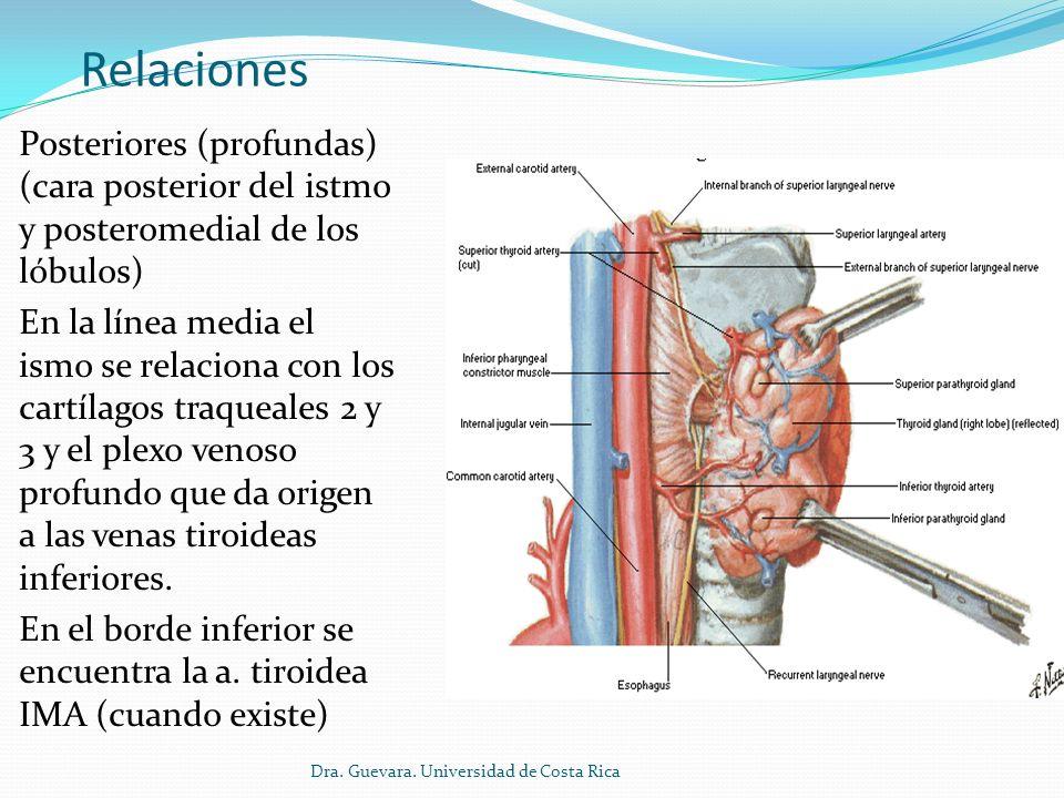 Relaciones Posteriores (profundas) (cara posterior del istmo y posteromedial de los lóbulos)