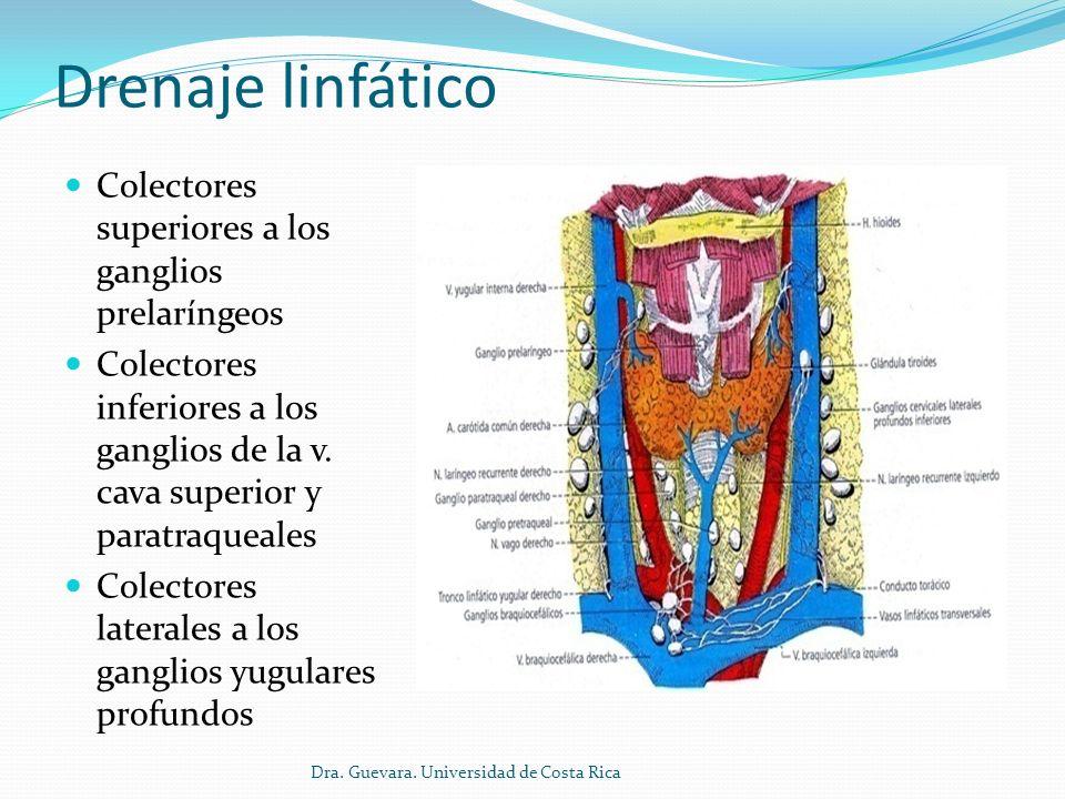 Drenaje linfático Colectores superiores a los ganglios prelaríngeos