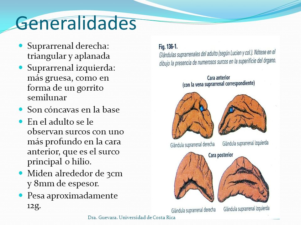 Generalidades Suprarrenal derecha: triangular y aplanada