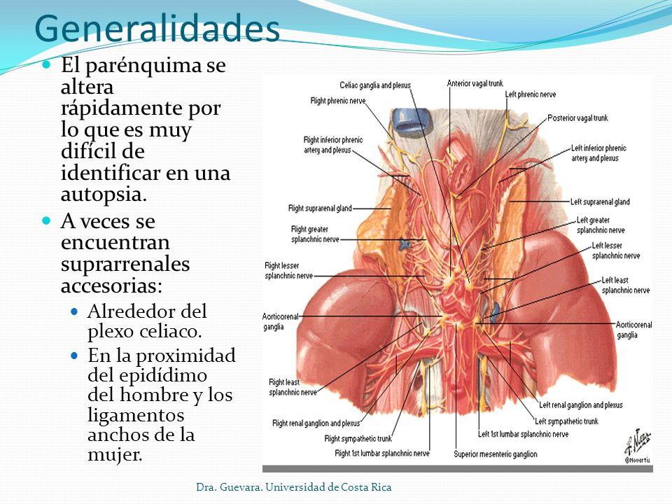 Generalidades El parénquima se altera rápidamente por lo que es muy difícil de identificar en una autopsia.
