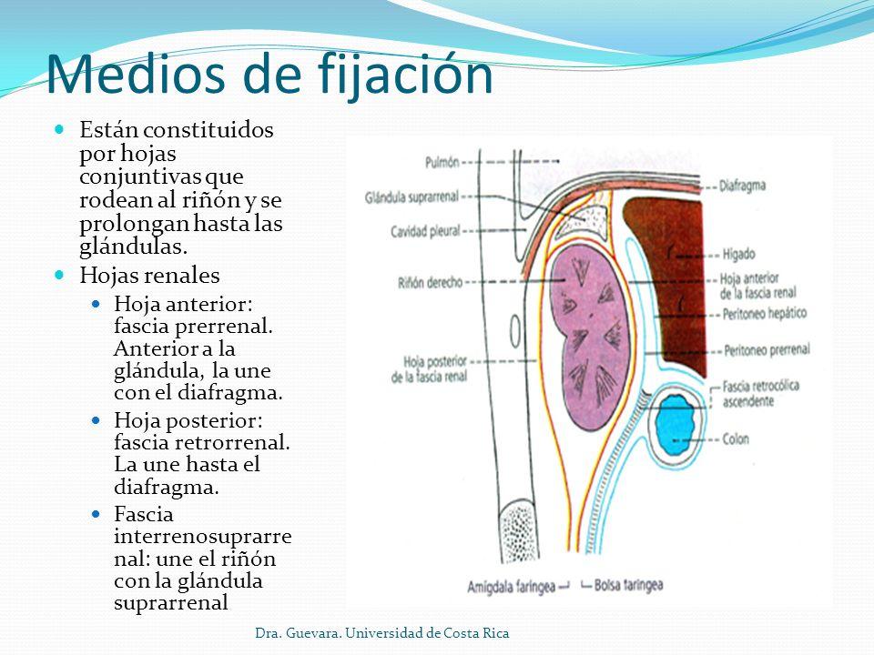 Medios de fijaciónEstán constituidos por hojas conjuntivas que rodean al riñón y se prolongan hasta las glándulas.