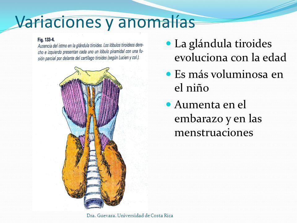 Lujoso Anatomía De La Glándula Tiroides Y La Anatomía Circundante ...