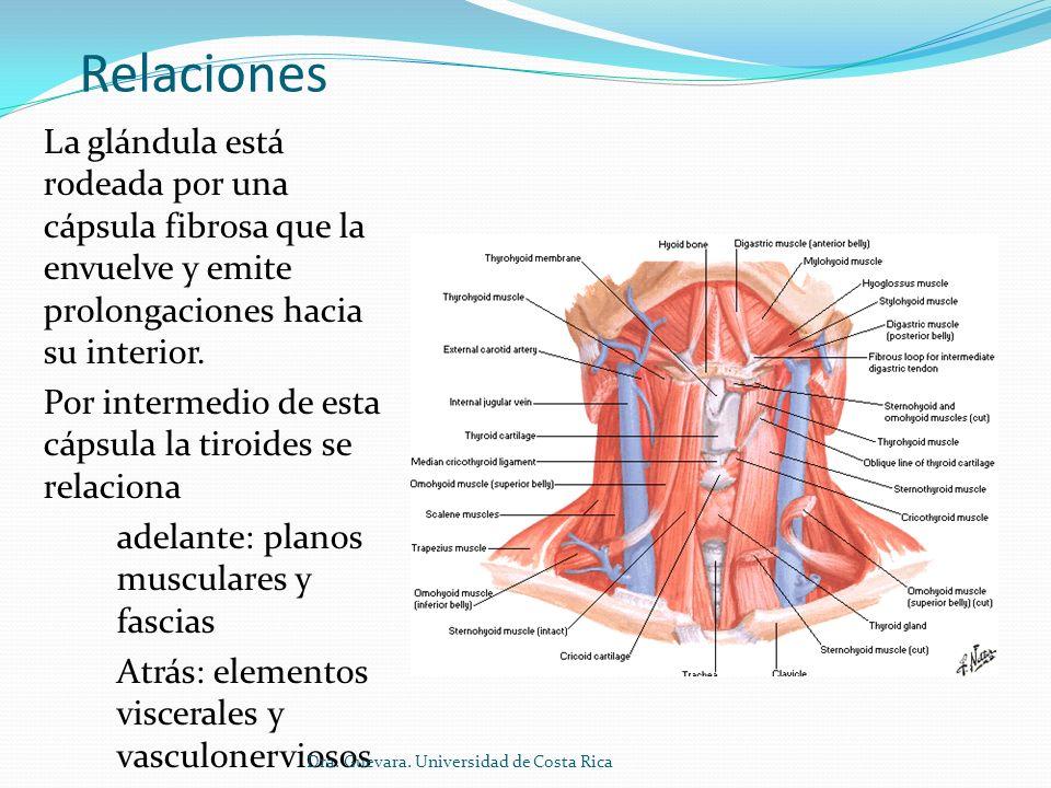 Encantador Glándula Tiroides Anatomía Festooning - Imágenes de ...