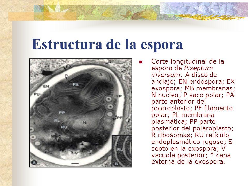 Estructura de la espora