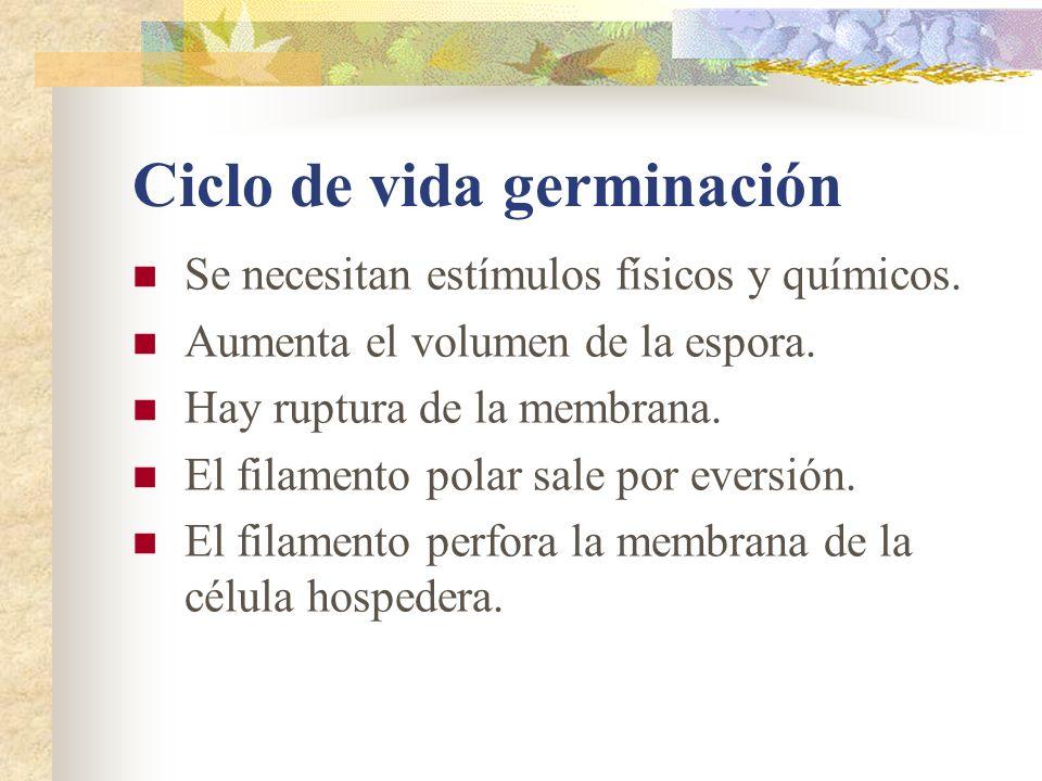 Ciclo de vida germinación