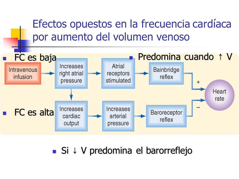 Efectos opuestos en la frecuencia cardíaca por aumento del volumen venoso