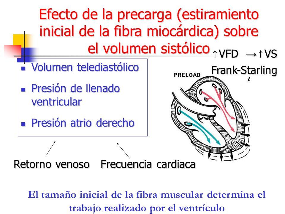 Efecto de la precarga (estiramiento inicial de la fibra miocárdica) sobre el volumen sistólico