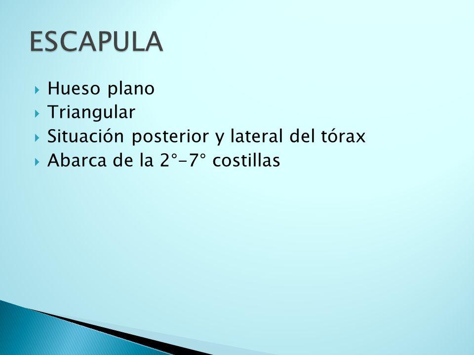 ESCAPULA Hueso plano Triangular