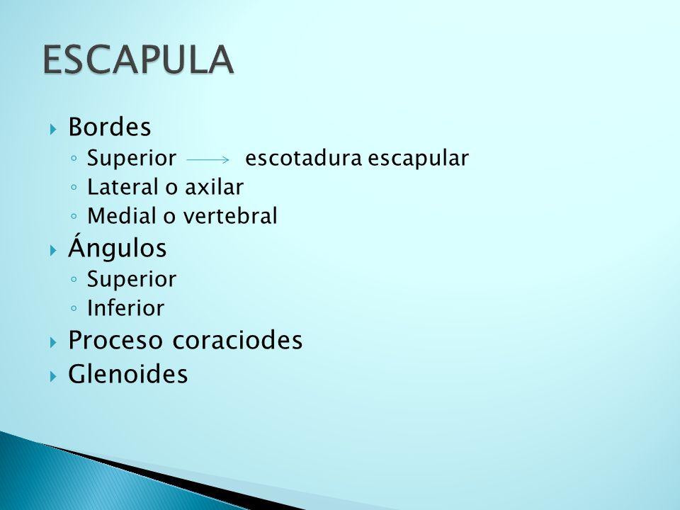 ESCAPULA Bordes Ángulos Proceso coraciodes Glenoides