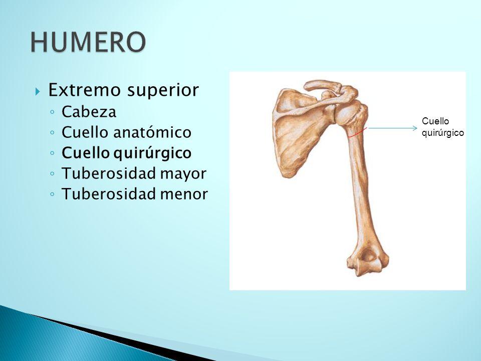 HUMERO Extremo superior Cabeza Cuello anatómico Cuello quirúrgico