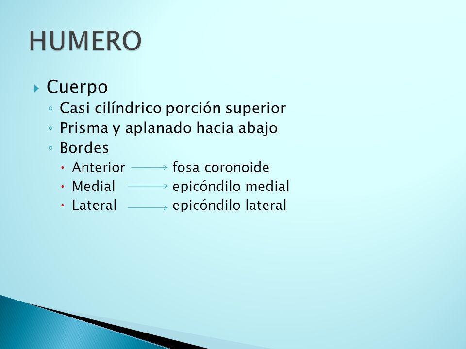 HUMERO Cuerpo Casi cilíndrico porción superior