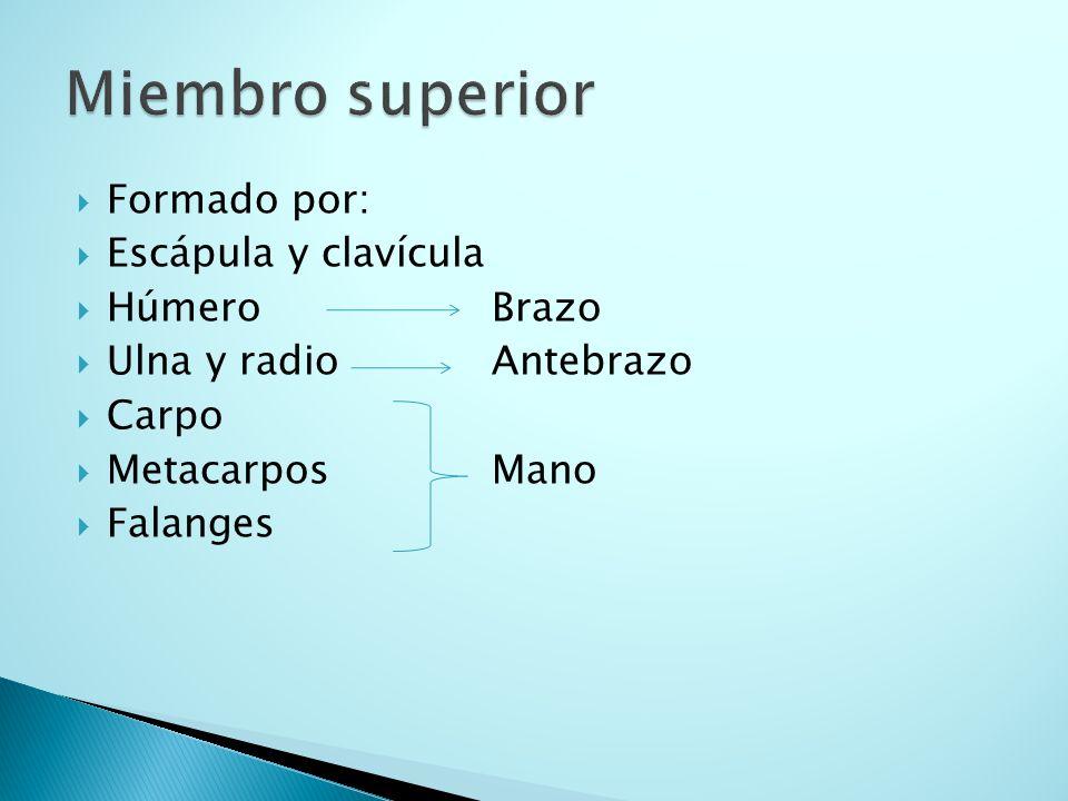 Miembro superior Formado por: Escápula y clavícula Húmero Brazo