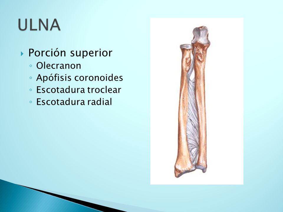 ULNA Porción superior Olecranon Apófisis coronoides