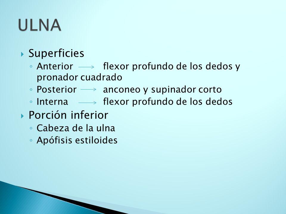 ULNA Superficies Porción inferior