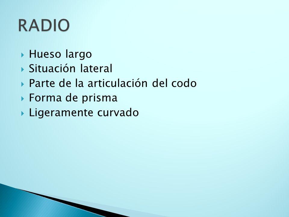 RADIO Hueso largo Situación lateral Parte de la articulación del codo
