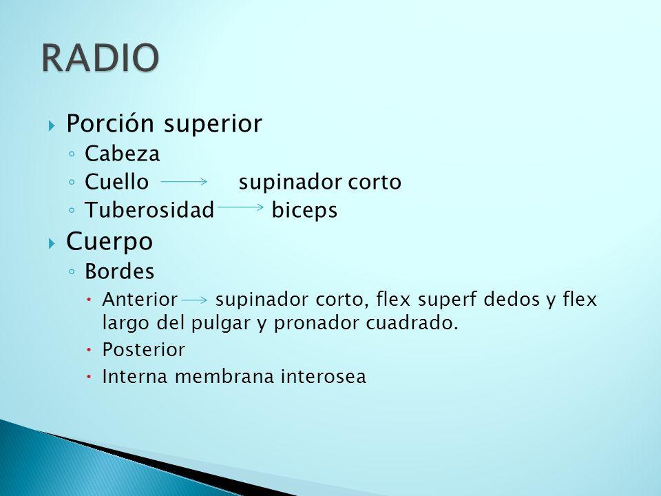 RADIO Porción superior Cuerpo Cabeza Cuello supinador corto