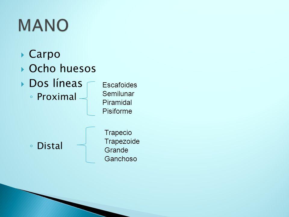 MANO Carpo Ocho huesos Dos líneas Proximal Distal Escafoides Semilunar