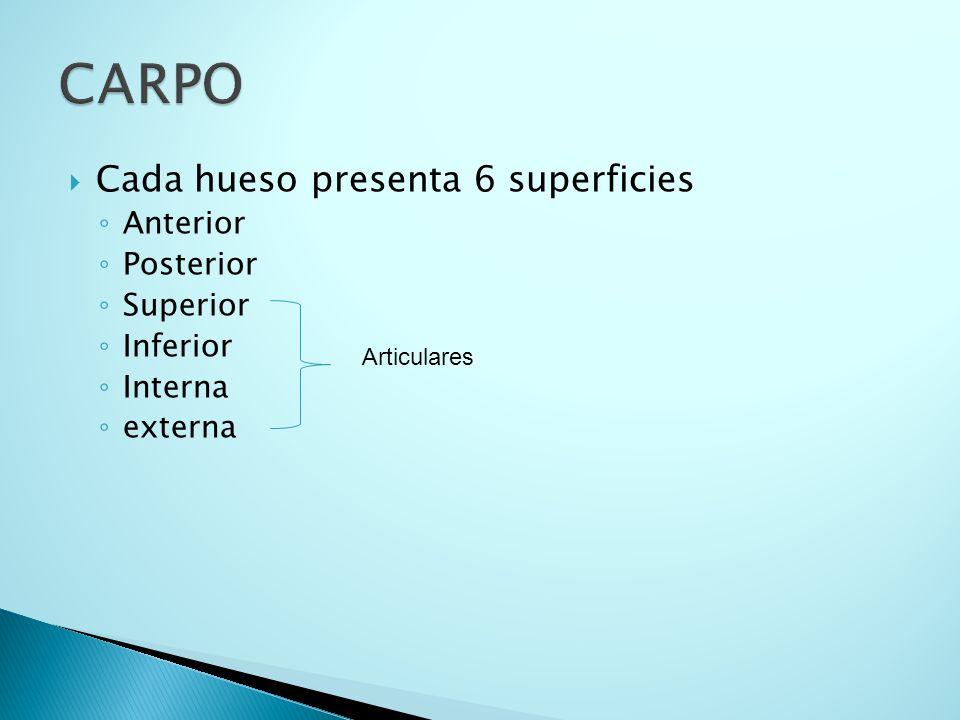 CARPO Cada hueso presenta 6 superficies Anterior Posterior Superior