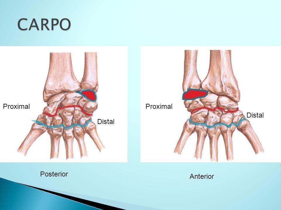 CARPO Proximal Proximal Distal Distal Posterior Anterior