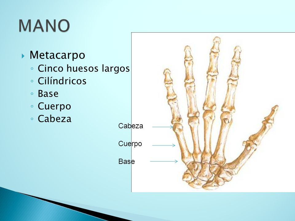 MANO Metacarpo Cinco huesos largos Cilíndricos Base Cuerpo Cabeza