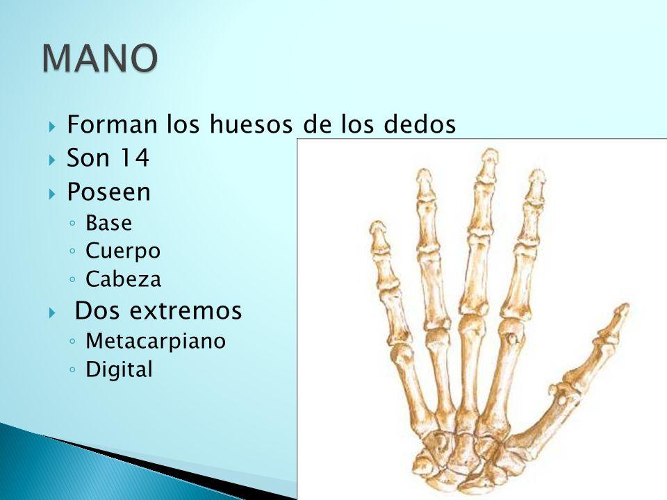 MANO Forman los huesos de los dedos Son 14 Poseen Dos extremos Base