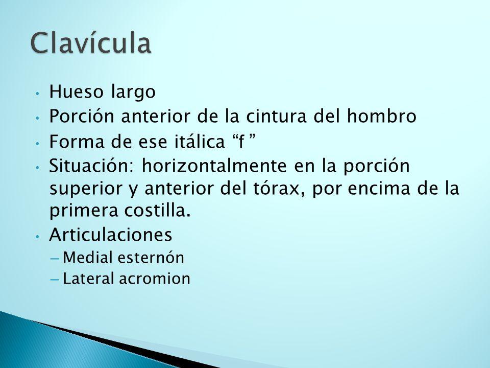Clavícula Hueso largo Porción anterior de la cintura del hombro