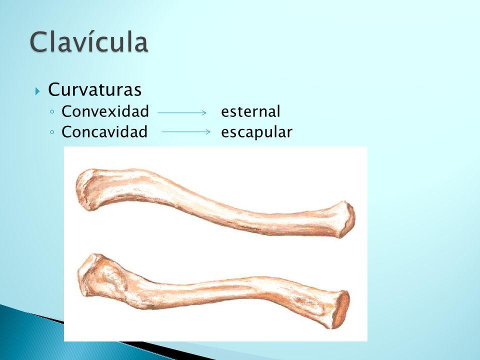 Clavícula Curvaturas Convexidad esternal Concavidad escapular