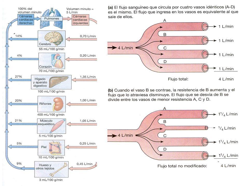 Musc esq, tracto gastrointestinal y riñones reciben 2/3 partes