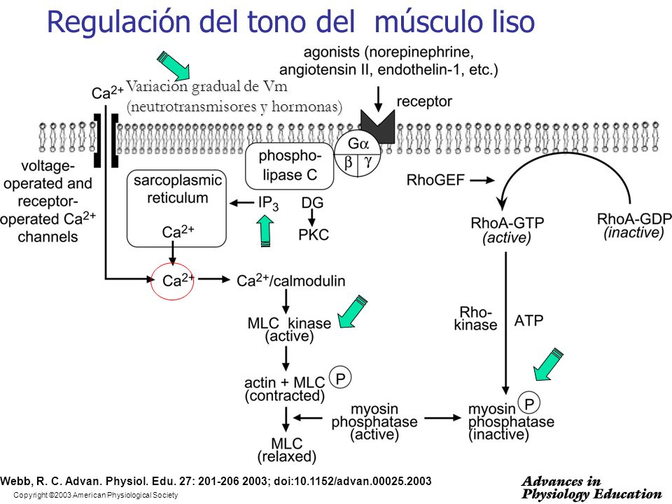 Regulación del tono del músculo liso