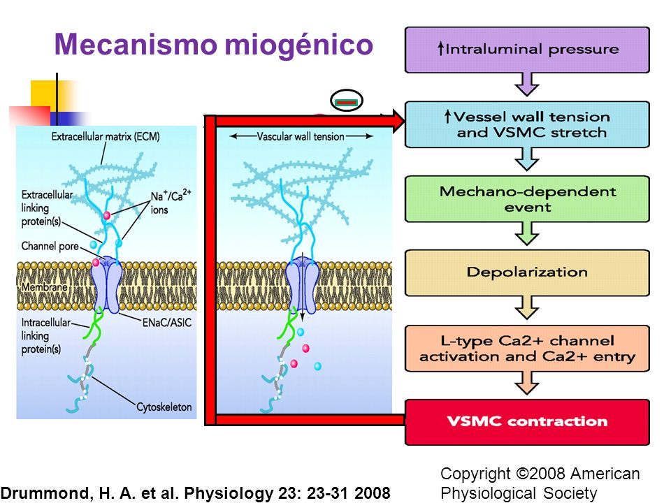 Mecanismo miogénico Copyright ©2008 American Physiological Society