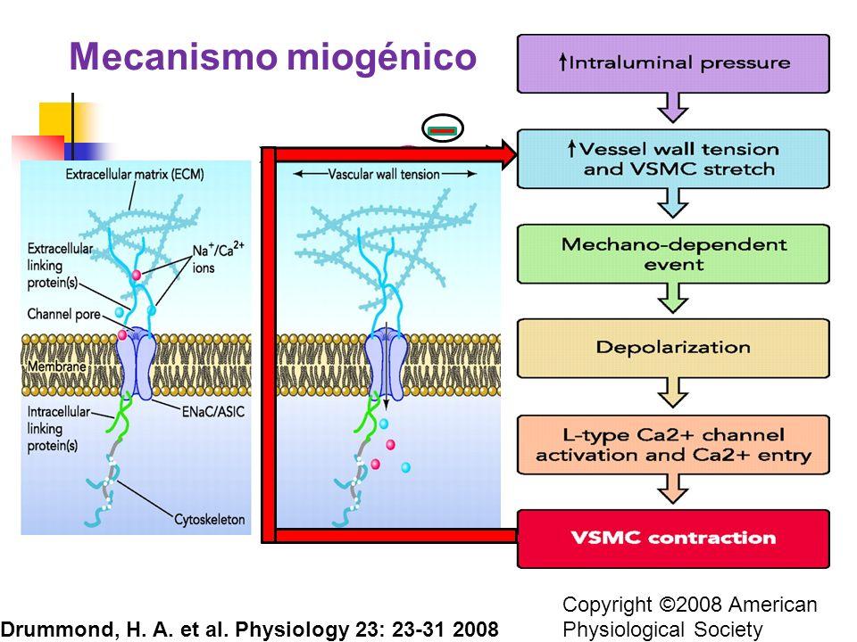 Mecanismo miogénico Copyright ©2008 American Physiological Society