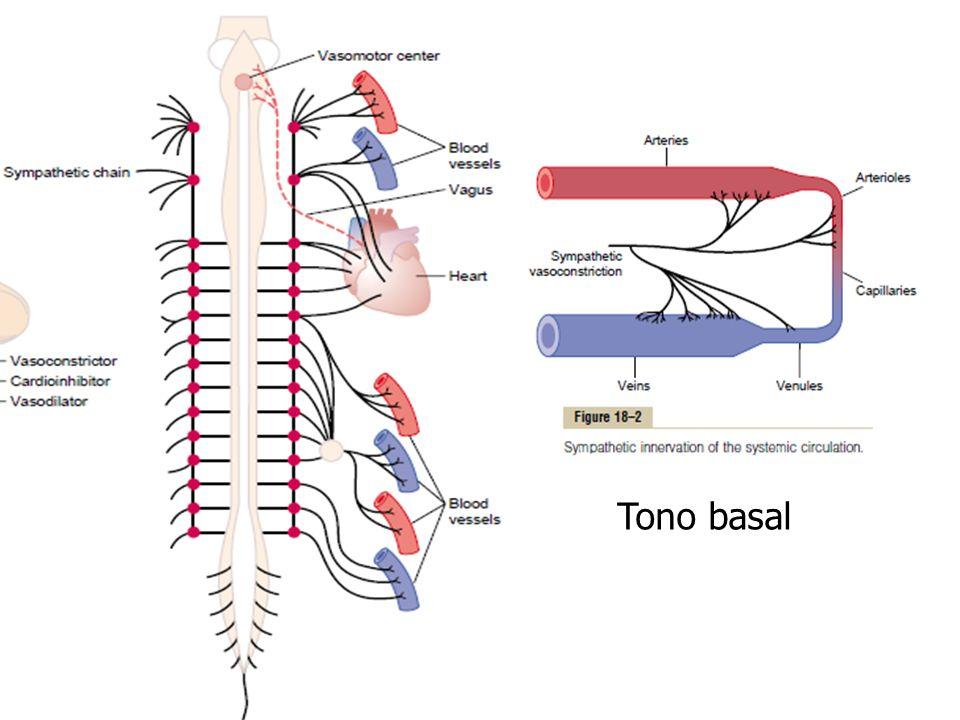 Tono basal es indep del sist nervioso, algún factor metab respe miogénica inducida por la P arterial, elevado PO2 de la sngre art o la presenca de Ca