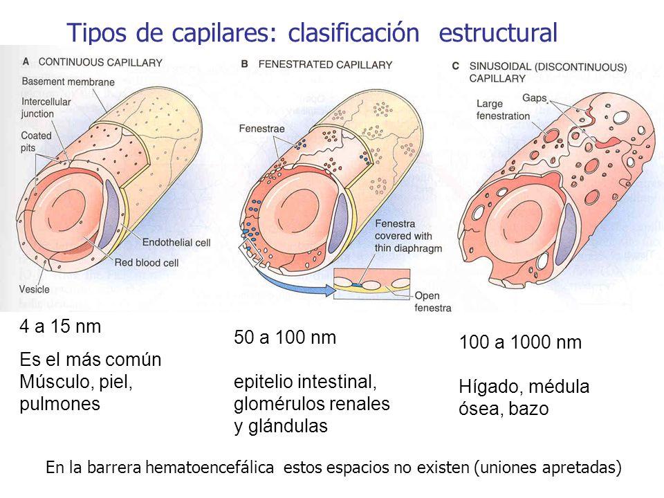 Tipos de capilares: clasificación estructural
