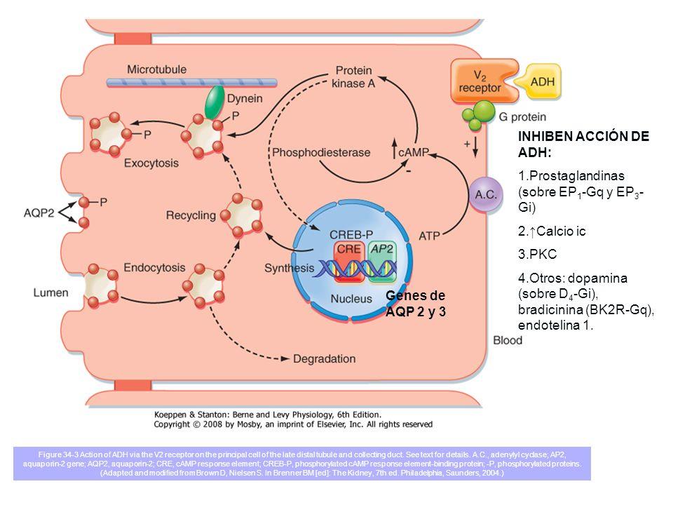 1.Prostaglandinas (sobre EP1-Gq y EP3-Gi)